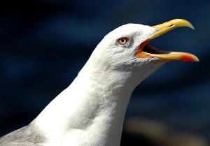 bigstock_Sea_Gull_1058486